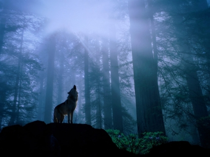 Warming Up for the Night s Howl Wallpaper Wolves Animals