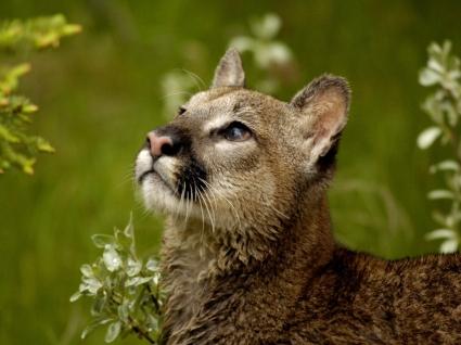 Watchful Cougar Wallpaper Big Cats Animals