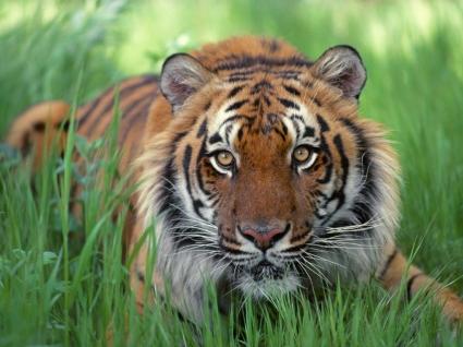 Watchful Eyes Bengal Tiger Wallpaper Tigers Animals