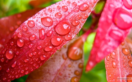 Water Bubbles on Pink Leaf