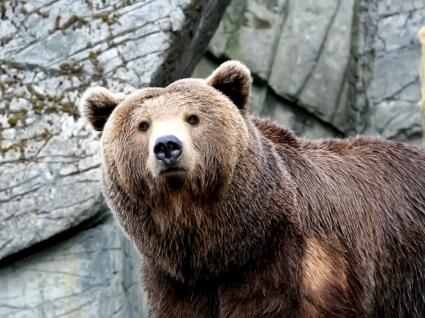 Wet Bear Wallpaper Bears Animals