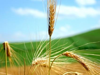 Wheat Wallpaper Plants Nature