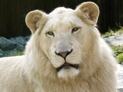 White Lion Wallpaper Big Cats Animals