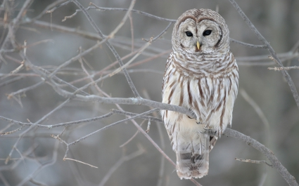 White Owl Tree