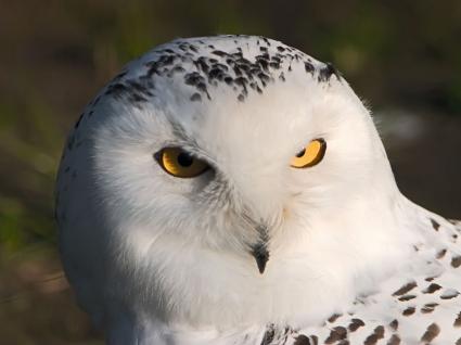 White owl Wallpaper Birds Animals