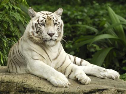 White Tiger, Singapore