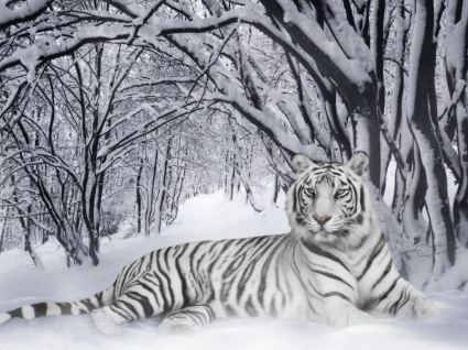 Tiger free stock photos download (160 free stock photos) for.