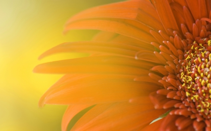 Widescreen Sunflower