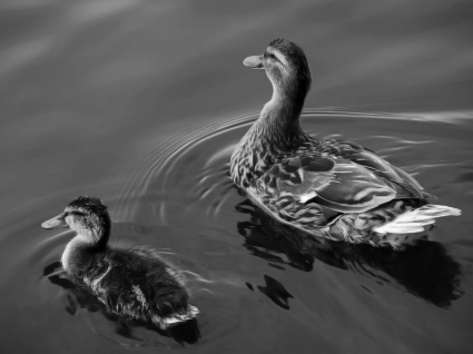 Wild ducks Wallpaper Birds Animals