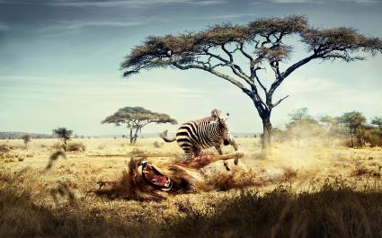 Wild Lion Zebra Chase