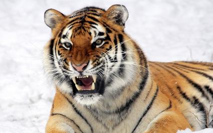 Wild Tiger Predator