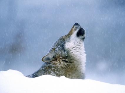 Winter Howl Wallpaper Wolves Animals