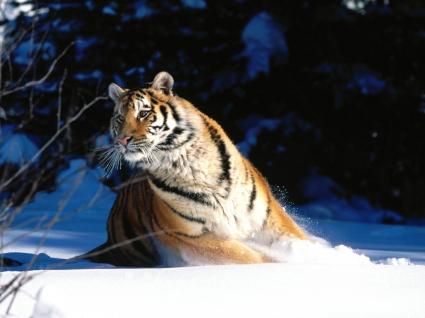 Wintery Scuddle, Siberian Tiger