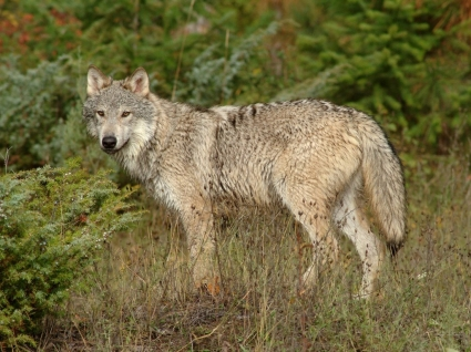 Wolf in Clearing Montana Wallpaper Wolves Animals