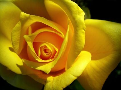 Yellow Rose Wallpaper Flowers Nature