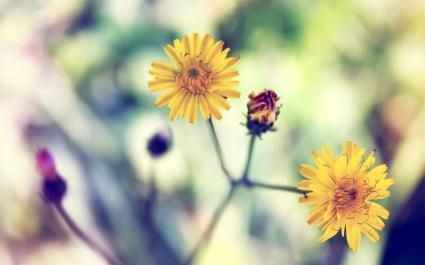 Yellow Spring Daisy