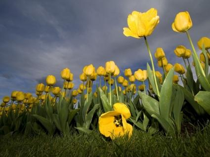 Yellow Tulips Wallpaper Flowers Nature