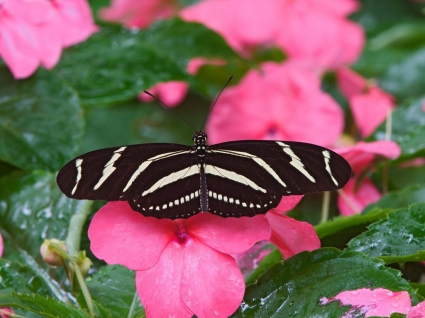 Zebra Longwing Wallpaper Butterflies Animals