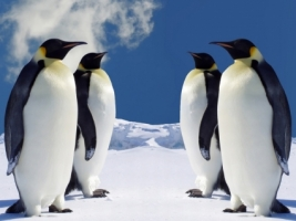 4 Emperor Penguins Wallpaper Penguins Animals