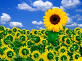 A Little Sunshine Wallpaper Flowers Nature