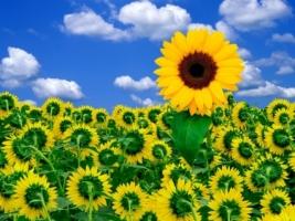A Little Sunshine Wallpaper Flowers Nature