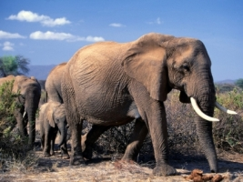 African Elephants Wallpaper Elephants Animals