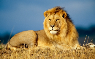 Lion Wallpaper Wallpapers For Free Download About 3030