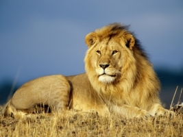 African Lion Wallpaper Big Cats Animals