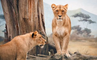 Lion And Lioness Wallpapers For Free Download About 48 Wallpapers