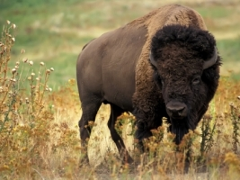 American bison Wallpaper Other Animals