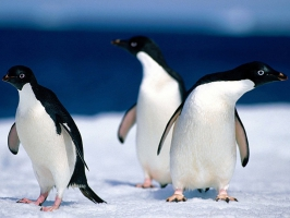 Animals Pinguine