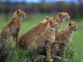 Anticipation Wallpaper Cheetahs Animals