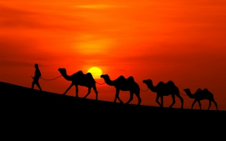 Arabian Sunset Camels