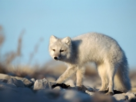 Artic Fox Wallpaper Foxes Animals