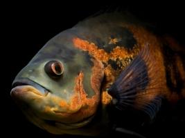 Astronotus ocellatus Wallpaper Fish Animals