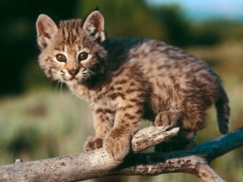 Baby Bobcat Wallpaper Baby Animals Animals