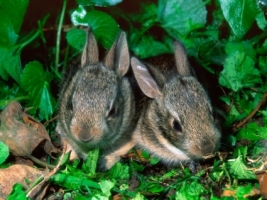 Baby Cottontail Rabbits Wallpaper Baby Animals Animals