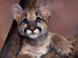 Baby Cougar Wallpaper Baby Animals Animals