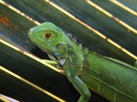 Baby Green Iguana Wallpaper Baby Animals Animals