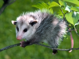 Baby Opossum Wallpaper Baby Animals Animals