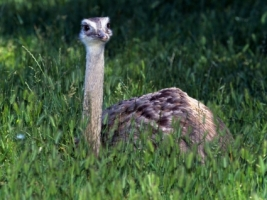 Baby Ostrich Wallpaper Baby Animals Animals