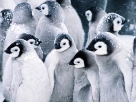 Baby Penguins Wallpaper Penguins Animals