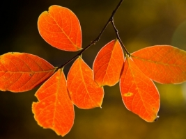 Backlit fall leaves Wallpaper Autumn Nature