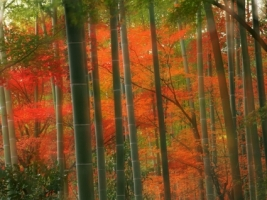 Bamboo Forest Wallpaper Japan World