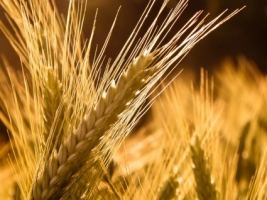 Barley Wallpaper Plants Nature