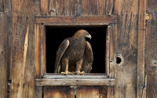 Barn Eagle