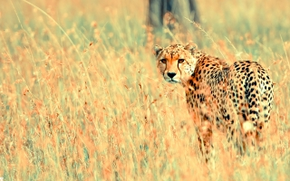 Beautiful Cheetah