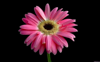 Beautiful Pink Daisy