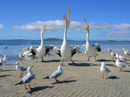 Beggars Pelicans and Seagulls Wallpaper Birds Animals