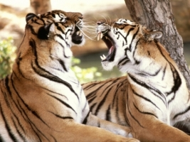 Bengal Tigers Wallpaper Tigers Animals